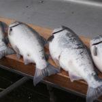 Silver Salmon Derby