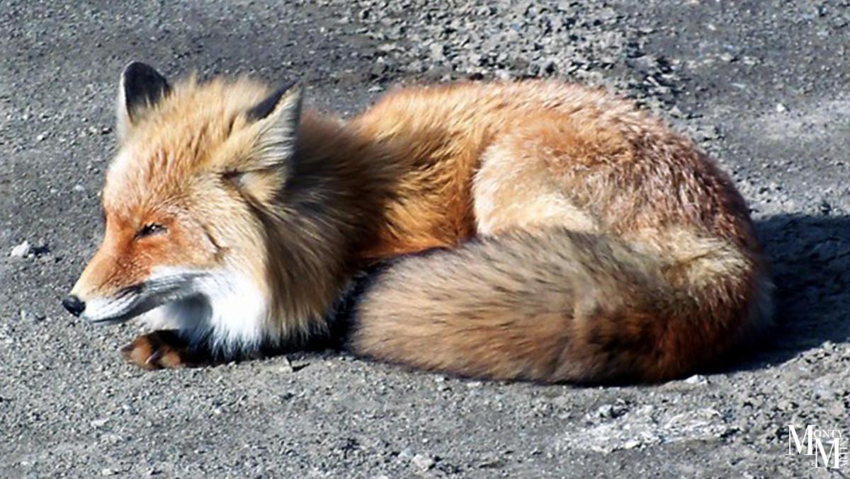 Arctic Fox curled up on the ground in Izembek Wildlife Refuge.
