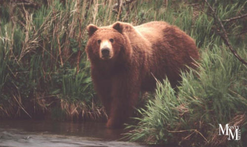 Brown Bear gazing across creek at fisherman