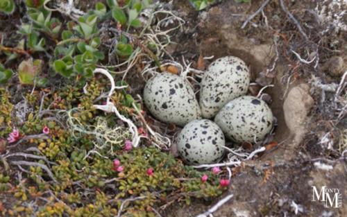 Ptarmigan Eggs